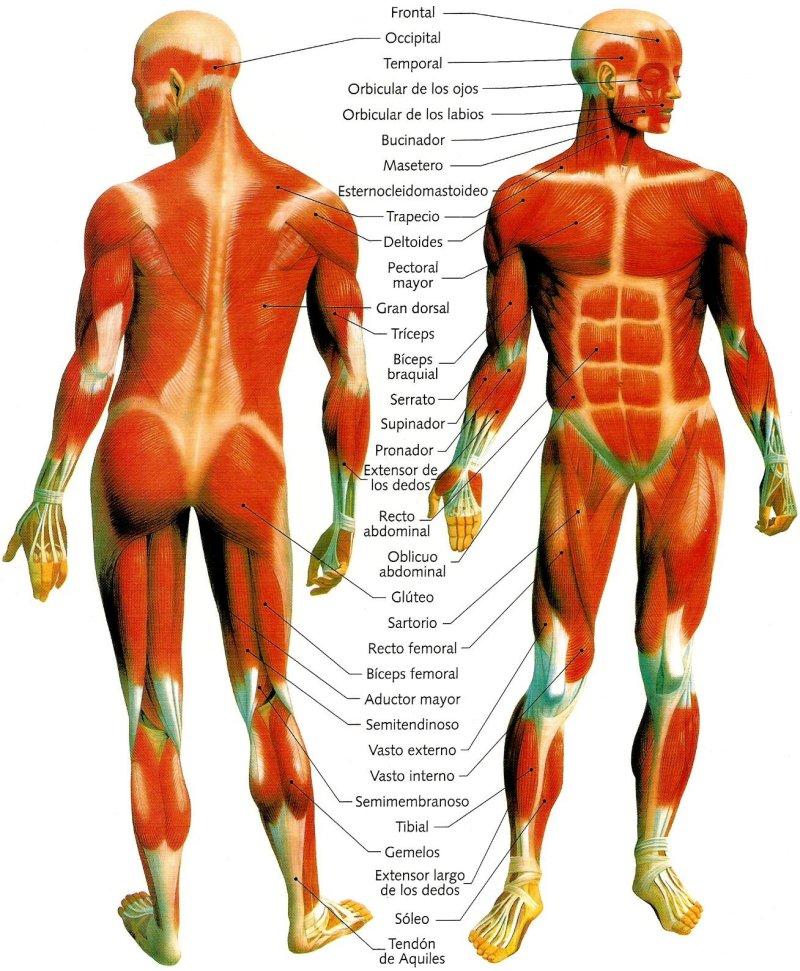 Asombroso Los Músculos Del Cuerpo Humano Marcado Patrón - Anatomía ...